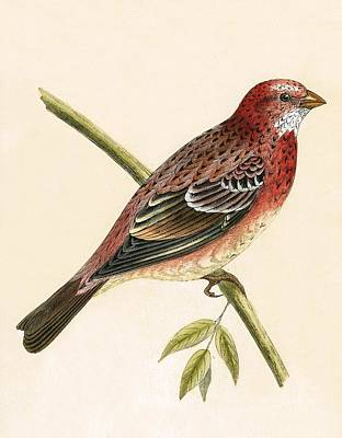 Red Finch Art