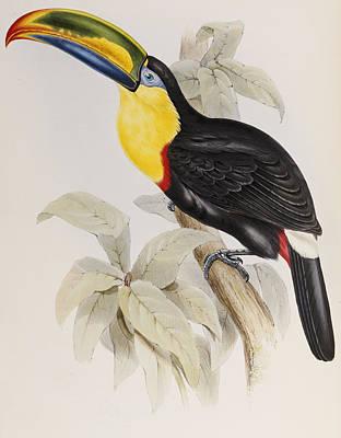 Toucan Drawings Prints