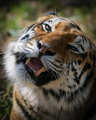 Designs Similar to Tiger Faces 6 by Ernie Echols