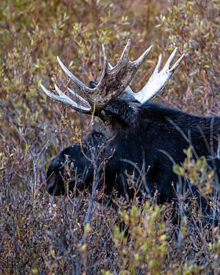 Photograph - Bull Moose by Cameron Knudsen