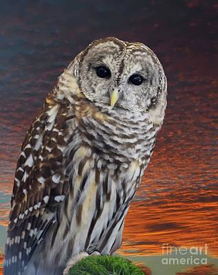 Photograph - Barred Owl at sunset by Sherry Little Fawn Schuessler