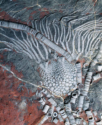 Designs Similar to Fossil Crinoid