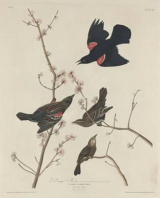 Starlings Drawings