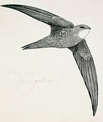Swift Apus Art