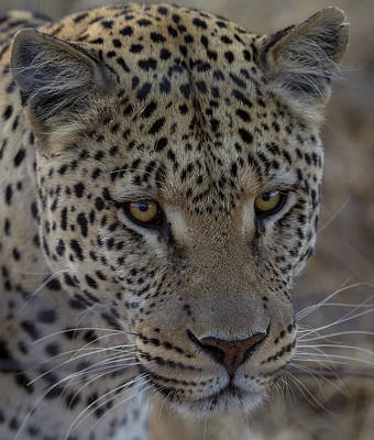 Designs Similar to Leopard In Namibia
