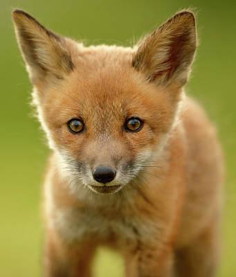 Designs Similar to Red Fox Cub by Assaf Gavra