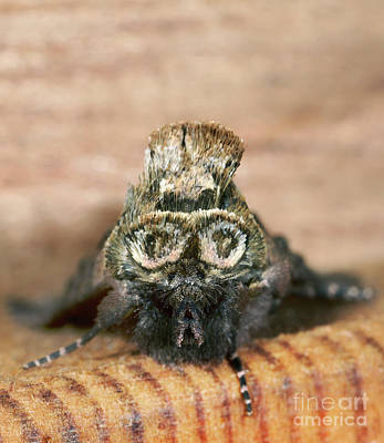 Designs Similar to Spectacled Moth Head