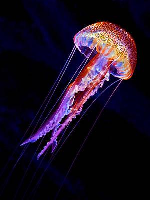 Jellyfish Photographs