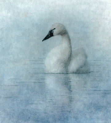 Tundra Swan Posters