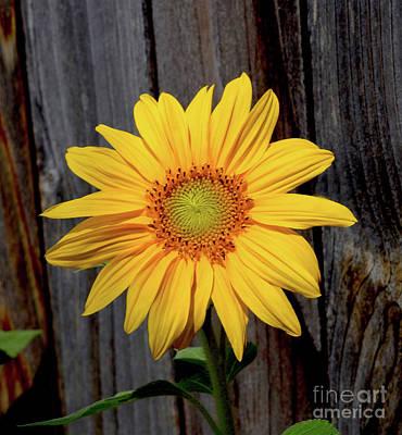 Photograph - Spiral Sunflower by Sherry Little Fawn Schuessler