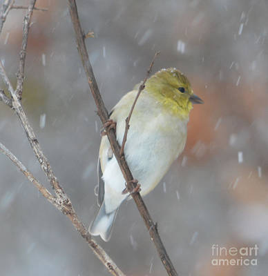 Designs Similar to American Goldfinch Hanging On