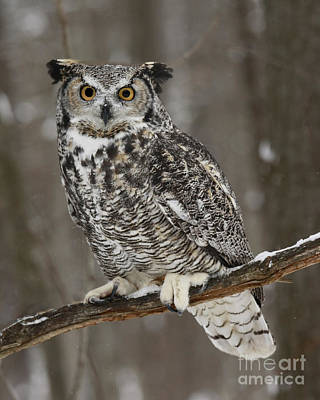 Great Horned Owl Watching You Photographs