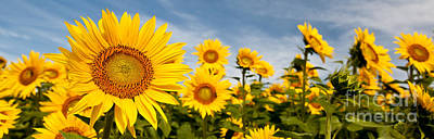 Designs Similar to Sunflower Panorama by K Hines