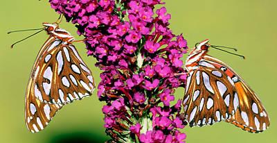 Designs Similar to Gulf Fritillary Butterflies