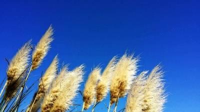 Pampas Grass Photographs