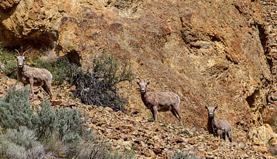 Designs Similar to California Bighorn Sheep