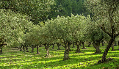 Designs Similar to Young Olive Grove