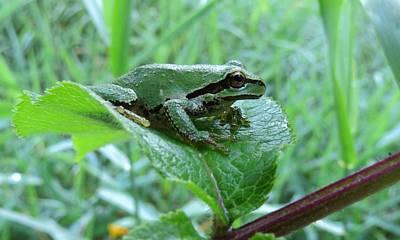 Pacific Tree Frog Digital Art Prints