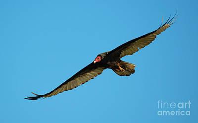 Turkey Vulture Art