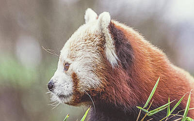 Designs Similar to Red Panda. by Angela Aird