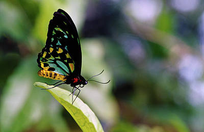 Designs Similar to Male Cairus Birdwing Butterfly