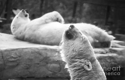 Sun Bear Photographs Original Artwork