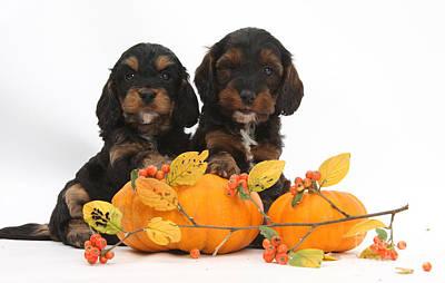 Designs Similar to Cockapoo Puppies With Pumpkins