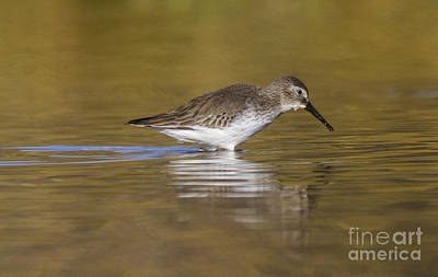 Designs Similar to Dunlin In The Pond