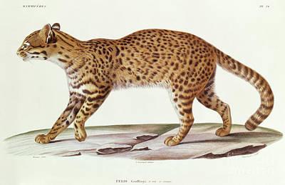 Designs Similar to Geoffreys Cat  Felis Geoffroyi