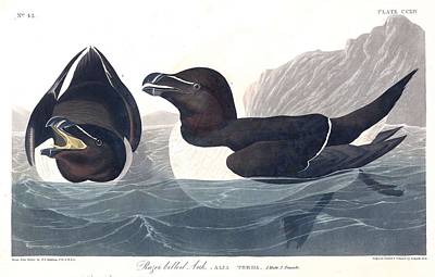 Designs Similar to Razor Bill By John Audubon