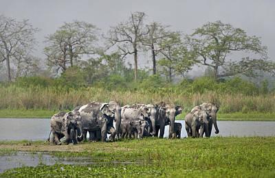 Designs Similar to Asian Elephants Elephas Maximus
