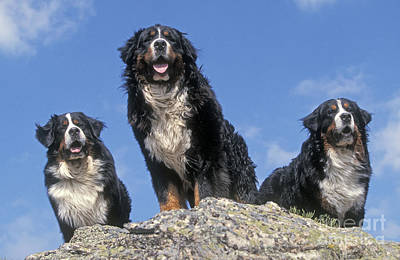 Designs Similar to Bernese Mountains Dogs
