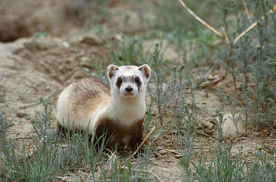 Designs Similar to Black-footed Ferret