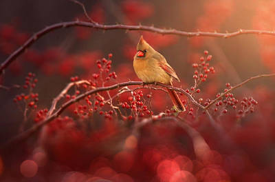Red Cardinal Art Prints