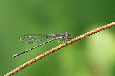 Damsleflies Art