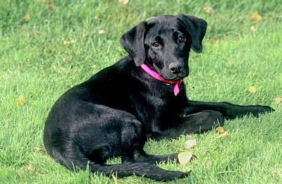 Designs Similar to Black Labrador Retriever 6