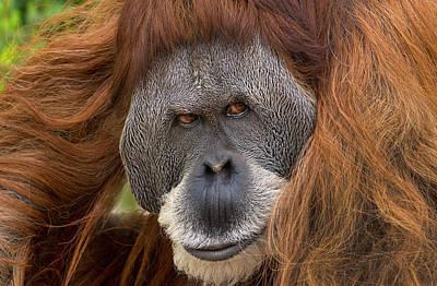 Designs Similar to Sumatran Orangutan Male