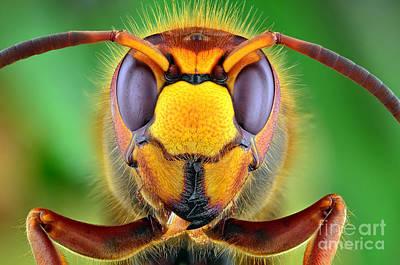 European Hornet Photographs