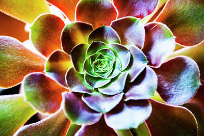 Designs Similar to Aeonium Arboreum Plant