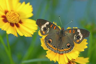 Buckeye Butterfly Art Prints