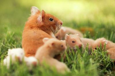 Golden Hamster Photographs