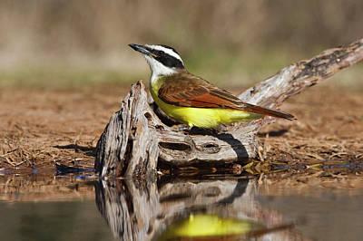 Flycatcher Photographs