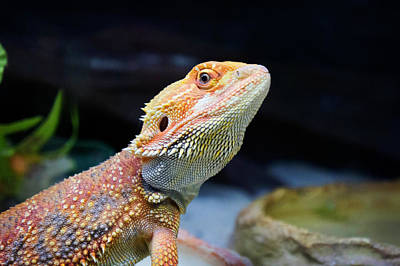 Designs Similar to lizard Bearded Dragon