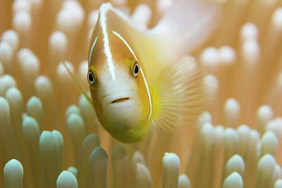 Designs Similar to Orange Skunk Clownfish