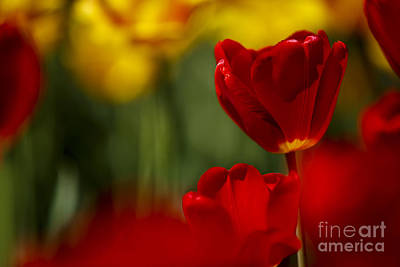 Designs Similar to Red And Yellow Tulips