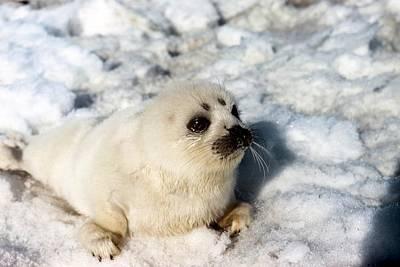 Designs Similar to Ribbon Seal Pup by Carleton Ray