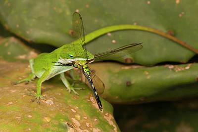 Green Anole Photographs