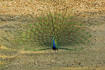 Designs Similar to Indian Peacock