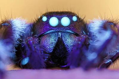 Designs Similar to Male Regal Jumping Spider