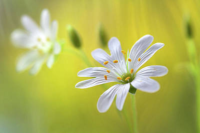 Designs Similar to Stitchwort by Mandy Disher